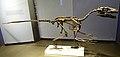 Dromaeosaurus reconstruction Royal Tyrrell 1.jpg