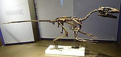 Dromaeosaurus reconstruction Royal Tyrrell 1.jpg