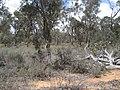 Dryandra Woodland 023.jpg