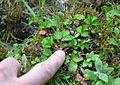 Duchesnea indicaLilleLamiot130.jpg