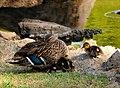 Ducks @ Kapiolani Park (5361628453).jpg