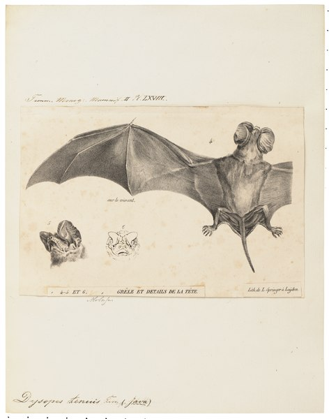 File:Dysopes tenuis - 1700-1880 - Print - Iconographia Zoologica - Special Collections University of Amsterdam - UBA01 IZ20800065.tif
