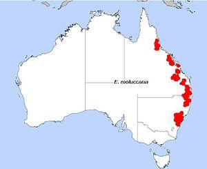 Eucalyptus moluccana - Image: E. moluccana