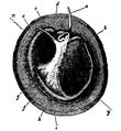 EB1911-Gastropoda 4.png