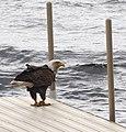 Eagle Visit For Lunch.jpg