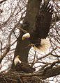 Eagles add to their nest (6862200573).jpg