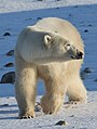 Earring the polar bear (6377460099).jpg