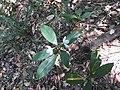 Ecbolium viride-2-mundanthurai-tirunelveli-India.jpg