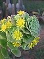 Echeveria species at Ooty (4).jpg