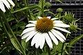 Echinacea purpurea Cygnet White 0zz.jpg
