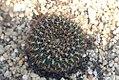 Echinopsis schieliana 0zz.jpg
