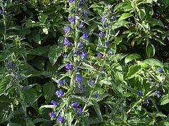 EchiumVulgare-plant2-hr.jpg