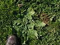 Echium plantagineum rosette1 (13942451033).jpg