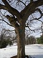 Echo Lake Park NJ American Elm tree in winter.JPG