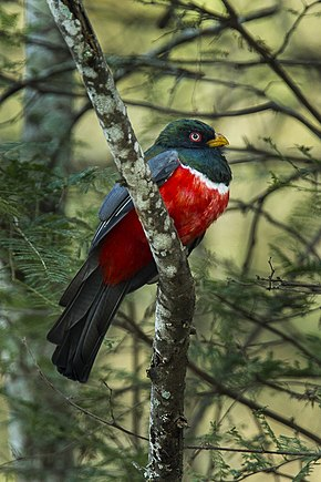 Description de l'image Ecuadorian Trogon - Ecuador S4E9606.jpg.