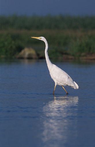 Costanera Sur Ecological Reserve - Image: Egretta alba 2 (Marek Szczepanek)