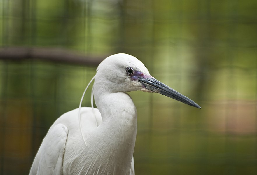 A Little Egret at Pont-Scorff Zoo, Morbihan, Brittany, France.