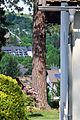 Eichgraben - Naturdenkmal PL-124 - Gelbkiefer (Pinus ponderosa) - Stamm.jpg
