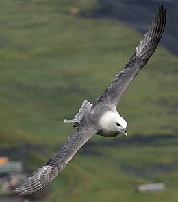 Eissturmvogel3.jpg