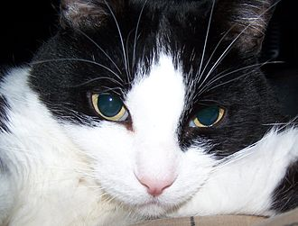 Felinology - A cat