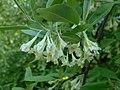 Elaeagnus multiflora 2016-05-20 0845.jpg
