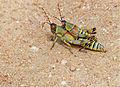 Elegant Grasshoppers (Zonocerus elegans) mating (13605244233).jpg
