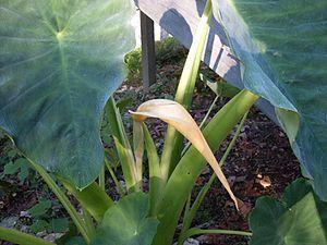 Colocasia - Elephant ear plant with blossom