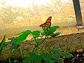 En el Mariposario de Biouniverzoo, Chetumal. - panoramio.jpg