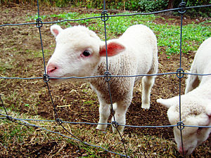 English Leicester sheep - Traditional white Leicester lambs