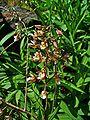 Epipactis palustris 002.JPG