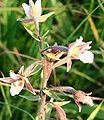 Epipactis palustris ENBLA01.jpg