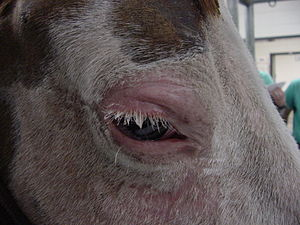 Skin Cancer In Horses Wikiwand