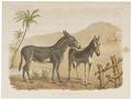 Equus taeniopus - 1700-1880 - Print - Iconographia Zoologica - Special Collections University of Amsterdam - UBA01 IZ21700087.tif