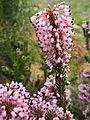 Erica multiflora Jardi Botanic Barcelona.JPG