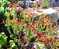 Erica nevillei - red rock heath - rare Cape Peninsula sandstone fynbos plant.jpg
