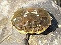 Eriocheir sinensis 125042828.jpg