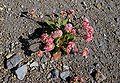 Eriogonum pyrolifolium.jpg