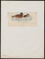 Erismatura australis - 1820-1863 - Print - Iconographia Zoologica - Special Collections University of Amsterdam - UBA01 IZ17700169.tif
