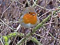 Erithacus rubecula (Muscicapidae) - (adult), Elst (Gld), the Netherlands - 2.jpg