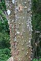 Erythrina sandwicensis (5209441929).jpg