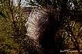 Es a comienzos del invierno cuando los gusanos se apoderan de los pinos, cuando crean sus empedernidos nidos, y crecen, crecen hasta que llega el momento de la invasión - panoramio.jpg