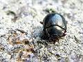 Escaravello beetle 934.jpg