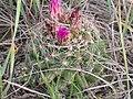 Escobaria vivipara (4008225290).jpg