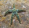 Estrella espinosa común (Marthasterias glacialis), Madeira, Portugal, 2019-05-31, DD 57.jpg