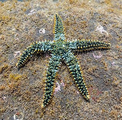 Exemplar of Spiny starfish (Marthasterias glacialis), Garajau Marine Nature Reserve, Madeira, Portugal.