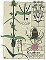 Etude de la plante - p.92 fig.120 - Cardère sauvage.jpg