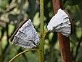 Eucalyptus globulus fruits 2003-02-04.jpg