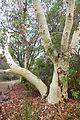 Eucalyptus laeliae - UC Santa Cruz Arboretum - DSC07340.JPG