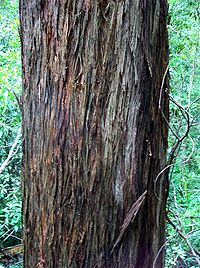 Eucalyptus laevopinea - stringy bark