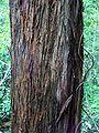 Eucalyptus laevopinea - stringy bark.jpg